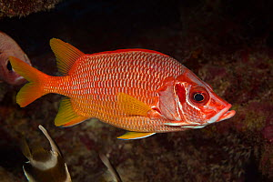 Longjaw squirrelfish (Sargocentron spiniferum), Yap, Micronesia.  -  David Fleetham