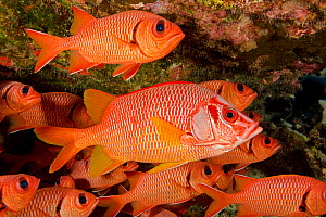 Longjaw squirrelfish (Sargocentron spiniferum) amongst Bigscale soldierfish (Myripristis berndti) school, Hawaii.  -  David Fleetham