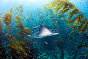 California bat ray (Myliobatis californica) swimming through Giant kelp (Macrocystis pyrifera) forest, many small fish in background. Santa Barbara Island, California, USA.  -  David Fleetham