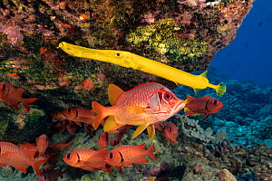 Trumpetfish (Aulostomus chinensis) and Longjaw squirrelfish (Sargocentron spiniferum) with school of Bigscale soldierfish (Myripristis berndti) behind. Coral reef, Maui, Hawaii.  -  David Fleetham
