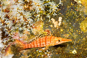 Longnose hawkfish (Oxycirrhites typus) and invasive Snowflake coral (Carijoa riisei) on wreck of the Carthiginian. Maui, Hawaii.  -  David Fleetham