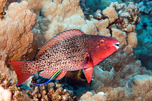 Hawaiian cleaner wrasse (Labroides phthirophagus) cleaning Redlip parrotfish (Scarus rubroviolaceus) in coral reef. Kauai, Hawaii.  -  David Fleetham