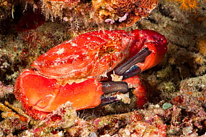 Splendid round crab (Etisus splendidus) holding pieces of coral that it has broken off with its lobed claws. Philippines. - David Fleetham