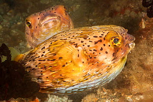 Longspined / Freckled porcupinefish (Diodon holocanthus), two. Philippines. - David Fleetham