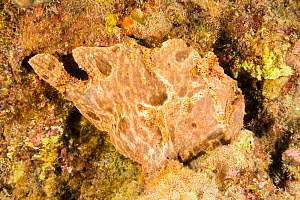 Commerson's frogfish (Antennarius commerson) camouflaged against surroundings. Hawaii.  -  David Fleetham
