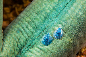 Sea snail (Thyca crystallina), two growing on host Blue sea star (Linckia laevigata). Philippines.  -  David Fleetham
