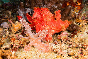 Paddle-flap scorpionfish (Rhinopias eschmeyeri) keeping an eye on passing Nudibranch (Miamira alleni), Philippines. - David Fleetham