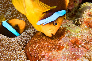 Clark's anemonefish (Amphiprion clarkii), pair tending to egg mass placed beside the protection of an anemone. Yap, Micronesia.  -  David Fleetham