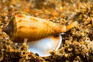 Cone shell (Conus sp) gliding across sand at night with two Mysid shrimps (Mysida sp) hitching a ride. Dumaguete, Philippines.  -  David Fleetham