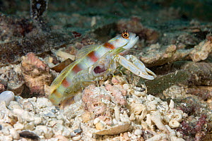 Steinitz' prawn / shrimp goby (Amblyeleotris steinitzi) and Alpheid worker shrimp (Alpheus sp) side by side. Mutualism occurs between the two species, the blind shrimp maintaining the shared burro... - David Fleetham