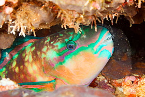 Chameleon parrotfish (Scarus chameleon), portrait at night. Sleeping in a mucus bubble secreted from large glands in gill cavity to protect fish from parasites. Fiji.  -  David Fleetham