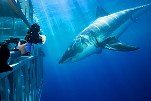 Divers in cages photographing Great white shark (Carcharodon carcharias). Guadalupe Island, Mexico.  -  David Fleetham