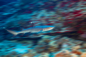 Whitetip reef shark (Triaenodon obesus), motion blurred image. Hawaii.  -  David Fleetham