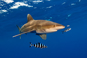 Oceanic whitetip shark (Carcharhinus longimanus) with Pilot fish (Naucrates ductor) and Remora (Echeneididae). In open ocean several miles off The Big Island / Hawaii, Hawaii. - David Fleetham