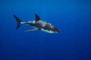 Great white shark (Carcharodon carcharias), Guadalupe Island, Mexico.  -  David Fleetham