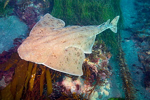 Pacific angel shark (Squatina californica) swimming above sea floor. Santa Barbara Island, California, USA. - David Fleetham