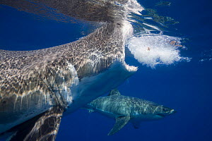 Great white shark (Carcharodon carcharias), two below surface. Guadalupe Island, Mexico.  -  David Fleetham