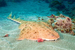 Pacific angel shark (Squatina californica) resting on sea floor. Santa Barbara Island, California, USA. - David Fleetham