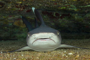 Whitetip reef shark (Triaenodon obesus) resting on sea floor. Kauai, Hawaii.  -  David Fleetham