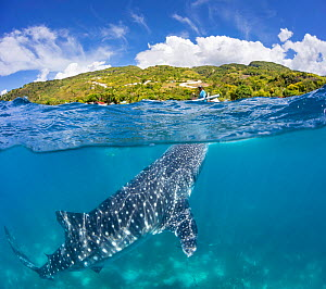 Whale shark (Rhincodon typus), a commercial encounter for tourists with feeder above on canoe. Oslob, Cebu, Philippines. April 2017.  -  David Fleetham