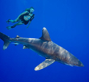 Oceanic whitetip shark (Carcharhinus longimanus) with diver observing in background. Hawaii. May 2008. Model released.  -  David Fleetham