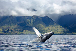 Humpback whale (Megaptera novaeangliae) breaching off the coast of West Maui, Hawaii. March 2014. Digital composite. - David Fleetham