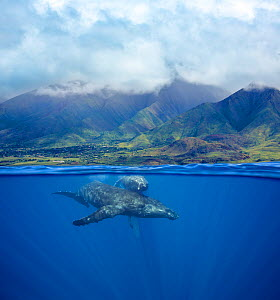 Humpback whale (Megaptera novaeangliae), female and calf swimming near surface with West Maui Mountains in background. South of Lahaina, Maui, Hawaii. March 2014. - David Fleetham