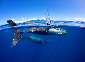 Humpback whale (Megaptera novaeangliae), mother and calf swimming just below surface in front of the West Maui Mountains. South of Lahaina, West Maui, Hawaii. - David Fleetham