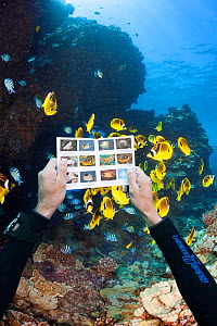 Diver looking at underwater fish identification chart in front of schooling Raccoon butterflyfish (Chaetodon lunula) and a lava formation. Lanai, Hawaii. July 2012. Model released. - David Fleetham