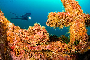 Commerson's frogfish (Antennarius commerson) camouflaged against coral on bow of Alma Jane wreck, diver in background. Off Sabang Beach, Puerto Galera, Mindoro, Philippines. April 2017. Model rele... - David Fleetham