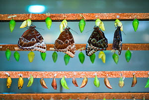 Owl butterflies (Caligo sp) fully emerged adults and pupae.  -  Juan  Carlos Munoz