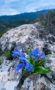 Wide-leaved / Juno iris (Iris planifolia), Sierra de las Nieves National Park, Malaga, Andalusia, Spain. January 2018. - Juan  Carlos Munoz