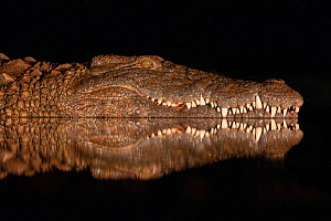 Nile crocodile (Crocodylus niloticus) at night, Zimanga private game reserve, KwaZulu-Natal, South Africa.  -  Ann  & Steve Toon