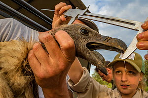 Ayla Kaltenecker, an aspiring young scientist and the daughter of one of the project's lead scientists, Greg Kaltenecker, measures the head length of an endangered white-backed vulture (Gyps africanus... - Jen Guyton
