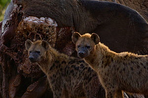 Two spotted hyenas (Crocuta crocuta) standing in front of an elephant carcass at dawn, Laikipia Plateau, Kenya. This elephant was killed by government officials after it killed a man walking home late... - Jen Guyton