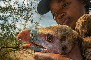 Young Mozambican biologist Diolinda Mundoza admires a young white-headed vulture (Trigonoceps occipitalis) as she prepares to release it. Gorongosa National Park, Mozambique.  -  Jen Guyton