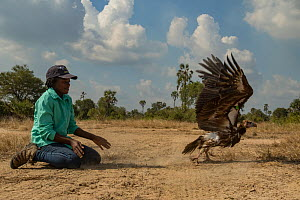 Young Mozambican biologist Diolinda Mundoza releasing a white-headed vulture (Trigonoceps occipitalis), Gorongosa National Park, Mozambique. - Jen Guyton