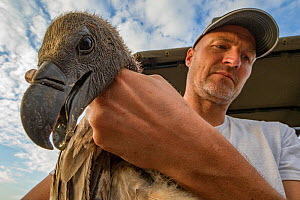 Biologist Eric Hallingstad carrying white-backed vulture (Gyps africanus) to the processing station, to fit it with a wing tag and GPS transmitter. Gorongosa National Park, Mozambique - Jen Guyton