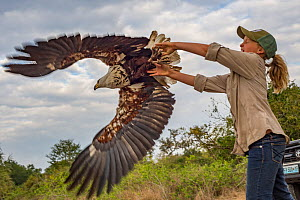 Ayla Kaltenecker releases an African fish eagle (Haliaeetus vocifer) that was captured in a leg-hold trap to be studied by raptor biologists. The researchers took measurements and a blood sample befor... - Jen Guyton