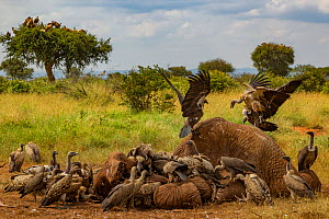 Rüppell's griffon vultures (Gyps rueppelli) and white-backed vultures (Gyps africanus) squabble over an elephant carcass (Loxodonta africana), Laikipia Plateau, Kenya. Dozens of vultures can feed on...  -  Jen Guyton