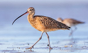 Long-billed Curlew (Numenius americanus) walking, San Ignacio Lagoon, El Vizcaino Biosphere Reserve, Baja California, Mexico, February  -  Claudio  Contreras