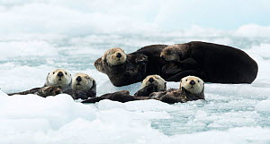 Sea otters (Enhydra lutris) resting on ice, Alaska, USA, June  -  Danny Green