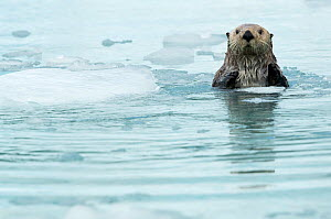 Sea otter (Enhydra lutris) resting amongst sea ice, Alaska, USA, June  -  Danny Green