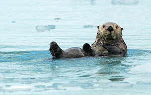 Sea otter (Enhydra lutris) resting on sea ice, Alaska, USA, June - Danny Green