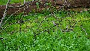 Slow motion clip of a Garden warbler (Sylvia borin) flying to nest site with dry grass for nest building, Carmarthenshire, Wales, UK, May.  -  Dave Bevan