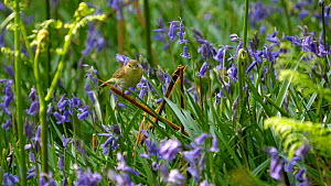 Slow motion clip of a Willow warbler (Phylloscopus trochilus) entering nest site amongst Bluebells (Hyacinthoides non-scripta), Carmarthenshire, Wales, UK, May.  -  Dave Bevan