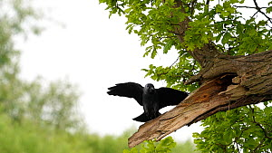 Slow motion clip of a Jackdaw (Corvus monedula) flying to a nest hole in an Oak tree (Quercus) and entering, Worcestershire, England, UK, May. - Dave Bevan
