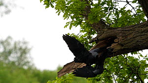 Slow motion clip of two pairs of Jackdaws (Corvus monedula) squabbling over nest site, Worcestershire, England, UK, May.  -  Dave Bevan