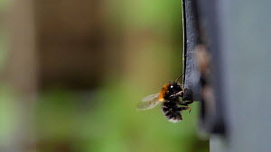 Slow motion clip of a White tailed bumblebee (Bombus lucorum) approaching entrance to its nest in a plastic compost bin, Norfolk, England, UK, May.  -  Dave Bevan