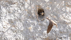Slow motion clip of a Sand martin (Riparia riparia) feeding chick at entrance to nest hole, Carmarthenshire, Wales, UK, May. - Dave Bevan